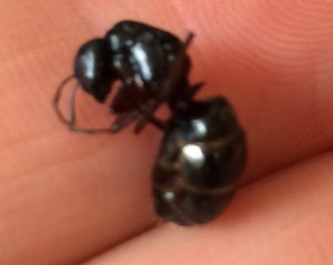 Carpenter-Ant-Queen-300x239