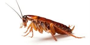 Frank-pest-control-cockroach-300x150