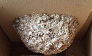 Wasp-Nest-in-Lawn-Bowling-Club-2-300x184