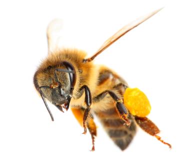 bees-and-wasps