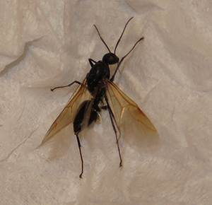 Male carpenter ant reproductive. It has one purpose: mate with a female, lose his wings and die.