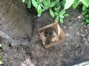 raccoon_removal_humane-300x225