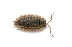 Woodlouse from above