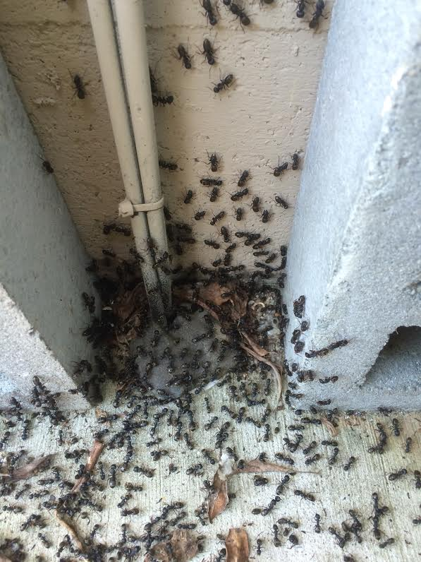 Major colony of carpenter ants pouring out of a nest during one of Frank Gilmour Pest Control Perth's Carpenter Ant Treatments
