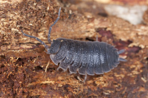 Woodlouse, extreme macro close-up with high magnification
