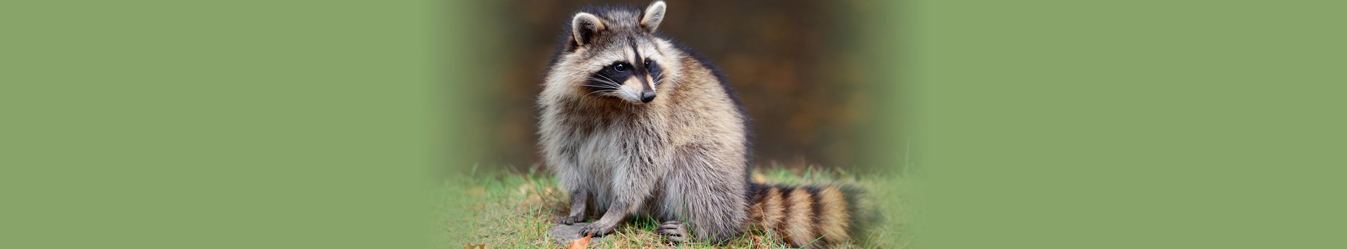 humane-racoon-removal-vancouver-bc